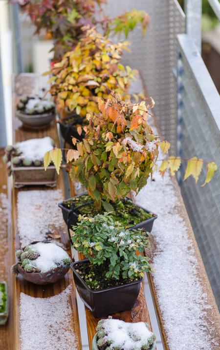 Bonsai im Herbst mit Schnee
