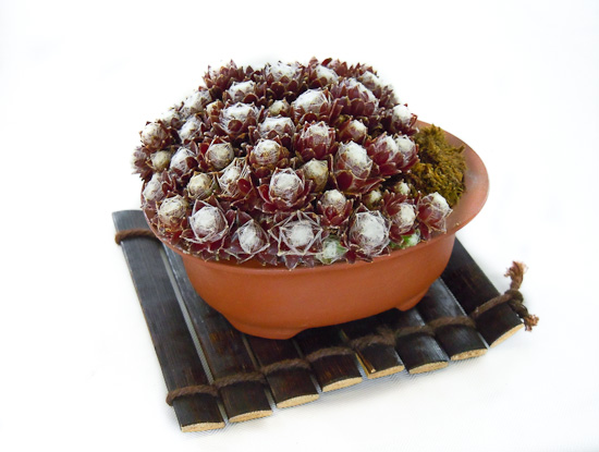 Beistellpflanze Sempervivum