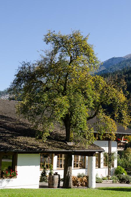 Baum wächst durch das Dach
