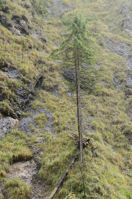 Nadelbaum in der Almbachklamm