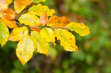 Rotbuchen-Ast im Herbst