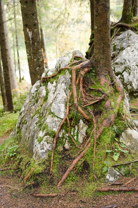 Wurzeln über einen Felsen