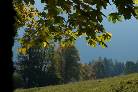 Blätter Bergahorn
