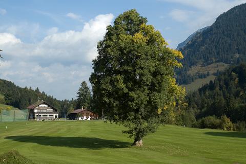 Bergahorn am Golfplatz