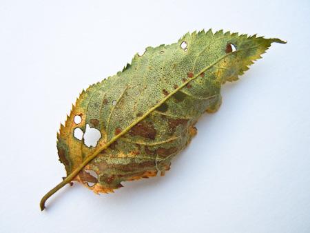 Schadpilz an der Blattunterseite
