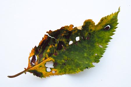 Schadpilz am Blatt einer Zierkirsche