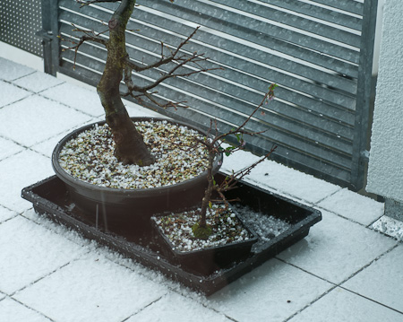 Bonsai im Hagel