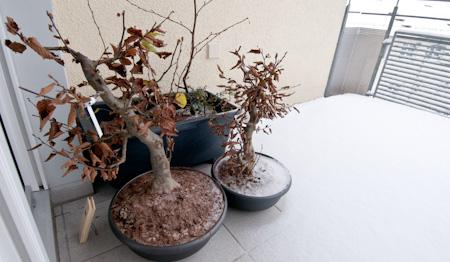 Schnee und Bonsai