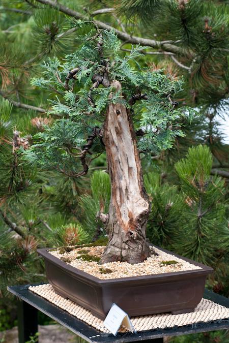 Lebensbaum als Bonsai