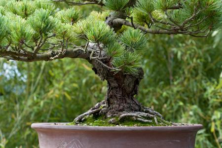 Pinus parviflora als Bonsai