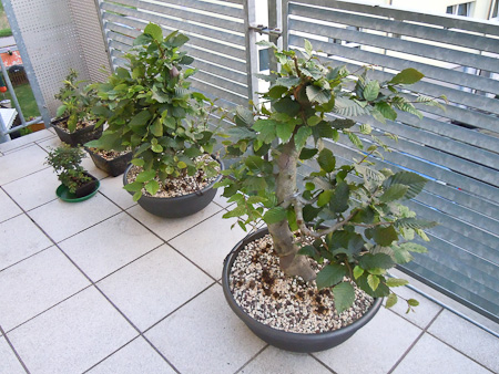 Bonsai Sommerhitze