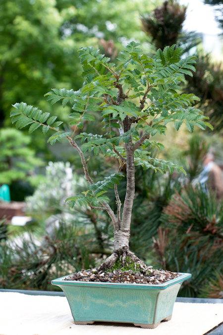 Sorbus aucuparia als Bonsai