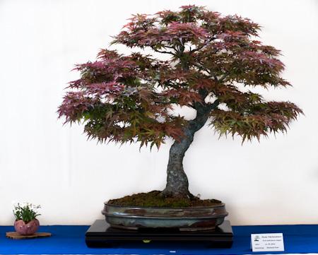 Bonsai und Akzentpflanze