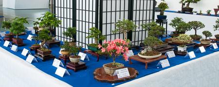 Shohin-Bonsai