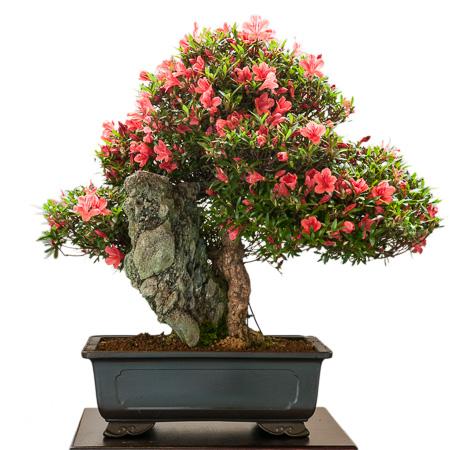 Rhododendron indicum Kinsai als Bonsai