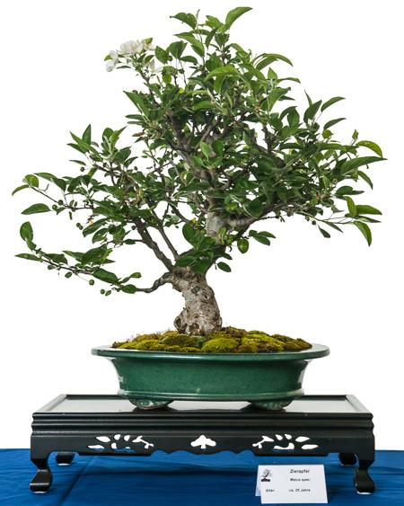 Apfelbaum als Bonsai