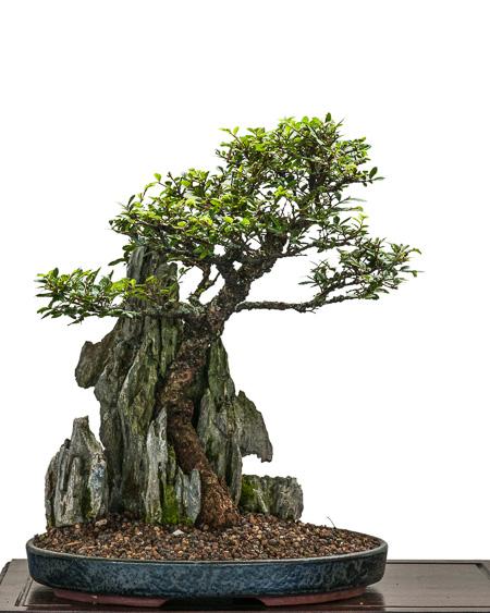 Japanische Ulme über einen Felsen als Bonsai