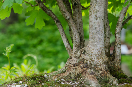 Feldahorn als Bonsai