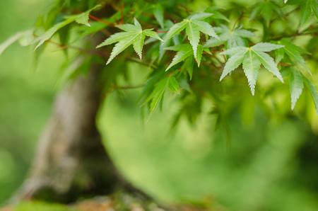 Fächerahorn als Bonsai