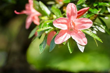 Blüte einer Mädchenkiefer