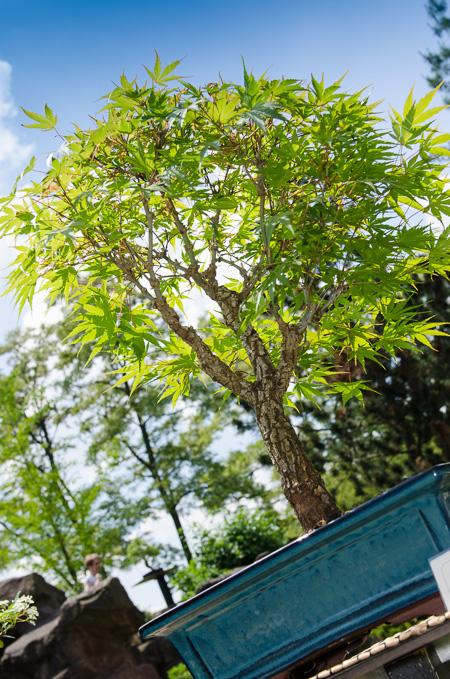 Korkrinden-Fächerahorn als Bonsai