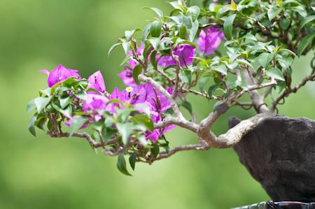 drillingsblume bougainvillea als bonsai. Black Bedroom Furniture Sets. Home Design Ideas