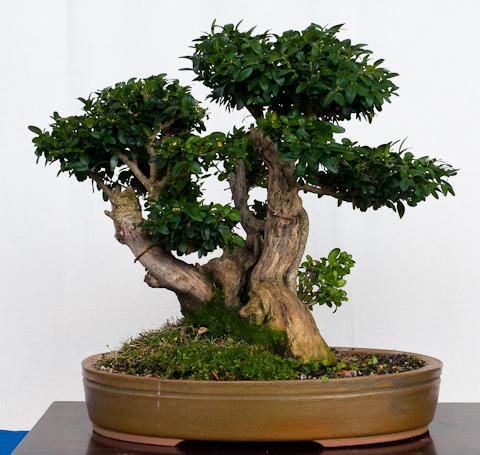 Buxus sempervivum