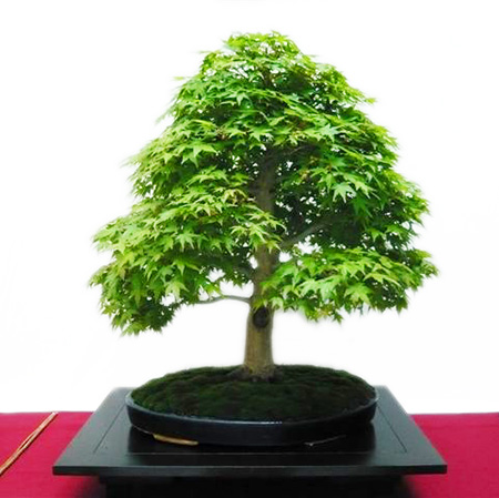 Grüner Fächerahorn als Bonsai