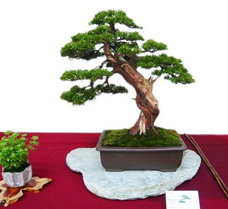 Bonsai mit Totholz