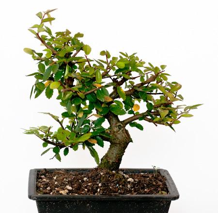 Ulmus parvifolia Thaiwan