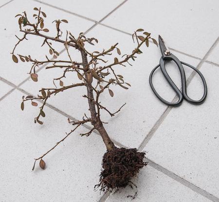 Cotoneaster nach auskämen der Wurzeln