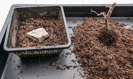 Cotoneaster wird zum Eintopfen vorbereitet