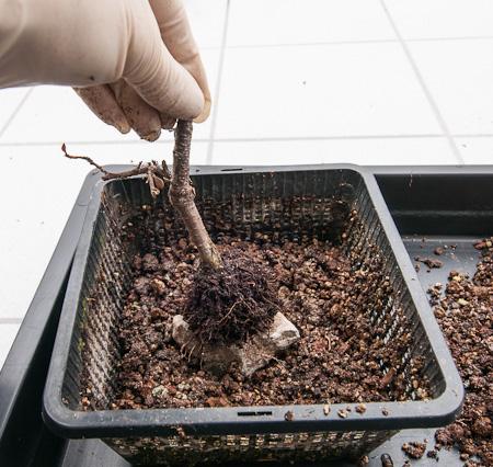 Cotoneaster wird in Teichtopf gepflanzt