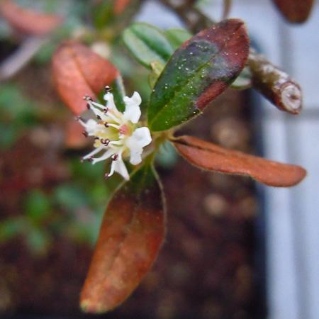 Cotoneaster Blüte