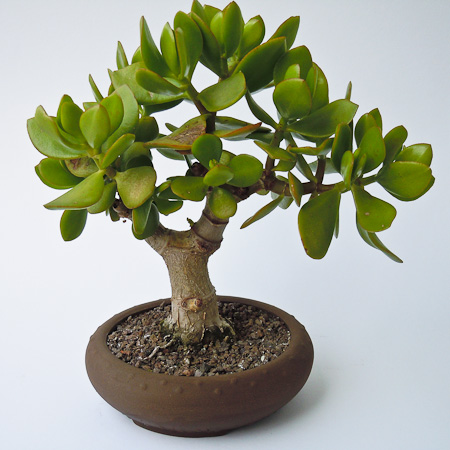 Crassula ovata September 2011