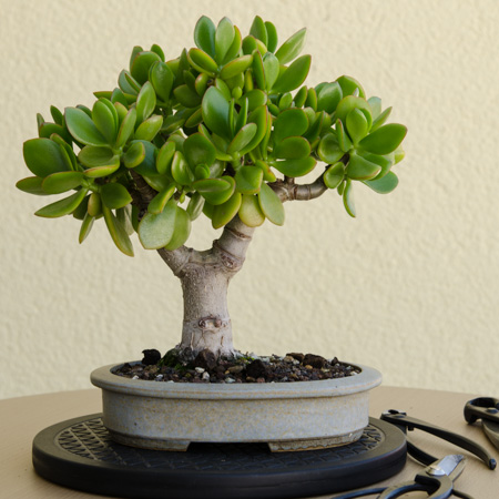 Crassula ovata Bonsai 2013