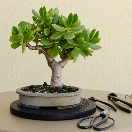 Crassula ovata Bonsai Juli 2013
