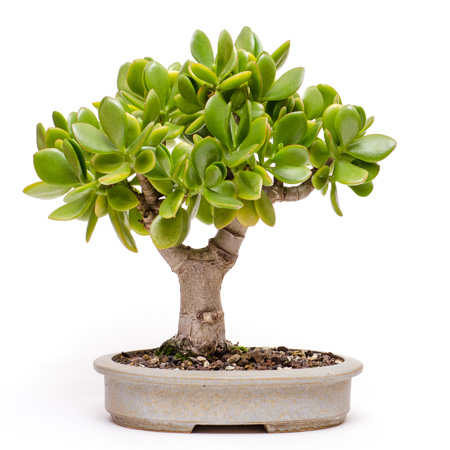 Crassula ovata als Bonsai 2013