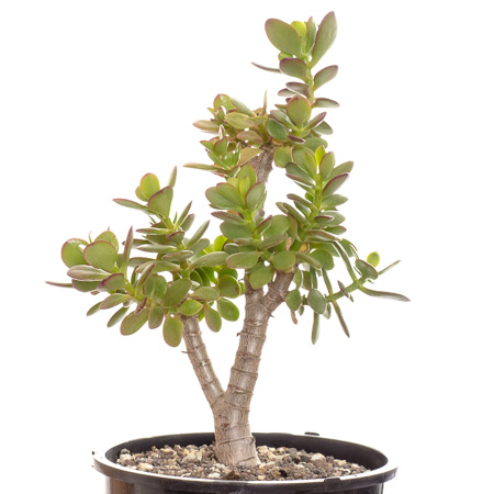 Crassula ovata v. minor #2 2013