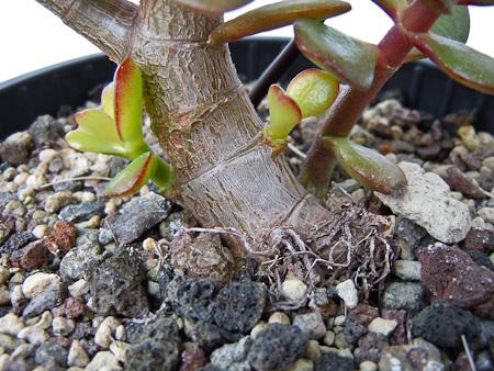 Nebari 2011 Crassula ovata minor 2