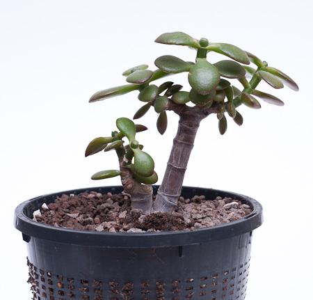 kleiner Crassula ovata var. minor nach dem Umtopfen