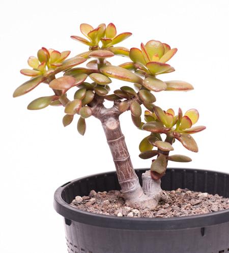 exploring bonsai als images femalecelebrity. Black Bedroom Furniture Sets. Home Design Ideas