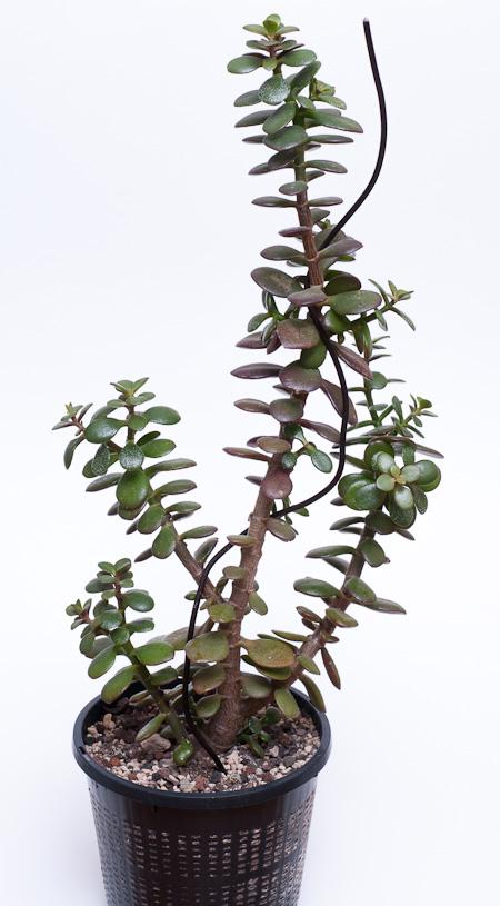 kleiner Crassula ovata var. minor Steckling