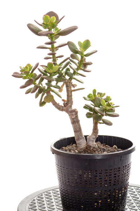 Crassula ovata v. minor #1 2013