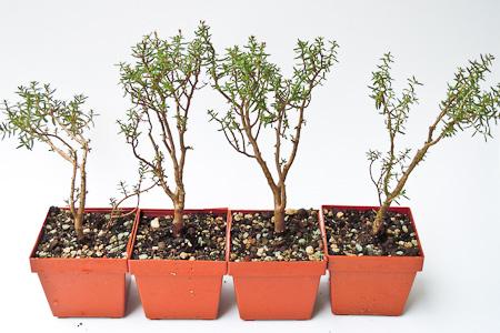 Crassula sarcocaulis Jungpflanzen