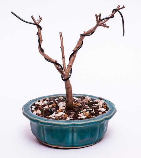 Crassula sarcocaulis #1 umgetopft