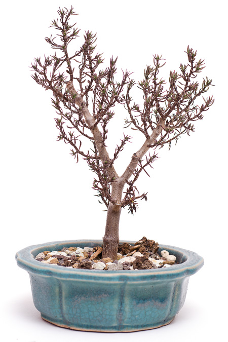 Crassula sarcocaulis #1 nach 5 Grad Minus