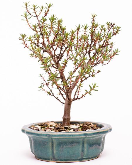 Andere Seite Crassula sarcocaulis Bonsai 2013