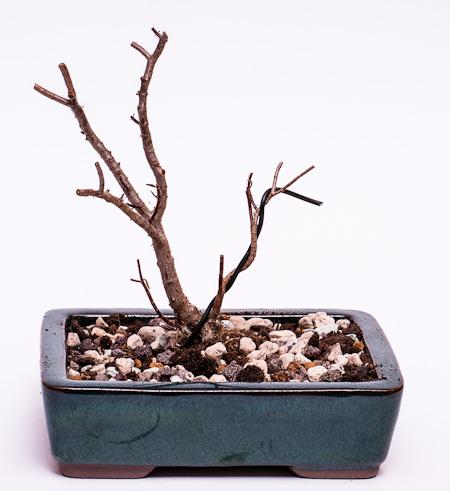 Crassula sarcocaulis #2 umgetopft
