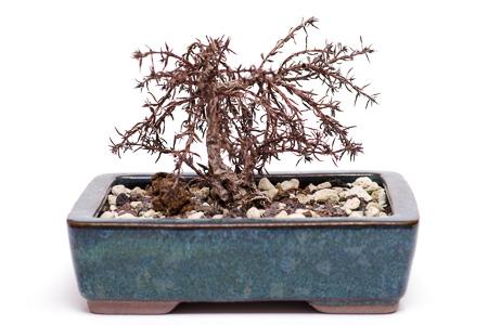 Crassula sarcocaulis #2 im Winter